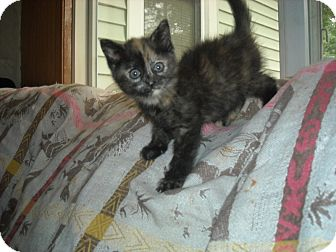 Calico Kitten for adoption in Mentor, Ohio - Borgie - 8 weeks old 1.8 pounds!