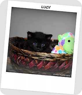 Domestic Shorthair Kitten for adoption in Woodstock, Ontario - Lucy
