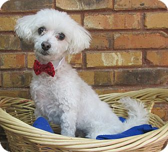 Poodle (Miniature)/Maltese Mix Dog for adoption in Benbrook, Texas - Rocky