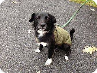 Terrier (Unknown Type, Small) Mix Dog for adoption in Wappingers, New York - Scooby