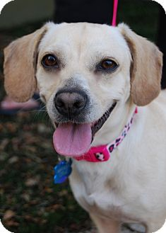 Beagle/Dachshund Mix Dog for adoption in Los Angeles, California - Lucky
