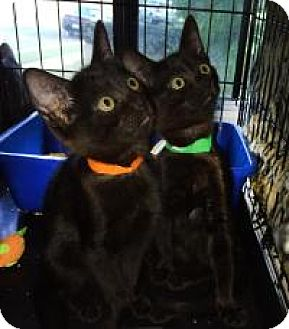 Bombay Cat for adoption in Mission Viejo, California - Lacie and Pearl