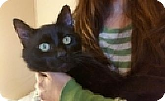 Domestic Shorthair Cat for adoption in Vancouver, British Columbia - Hayden