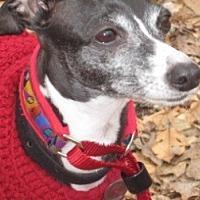 Adopt A Pet :: Italian Greyhound - Croton, NY