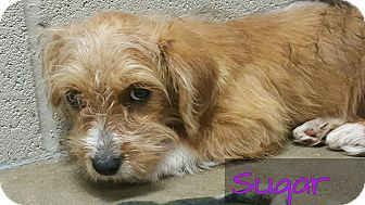 Terrier (Unknown Type, Small) Mix Puppy for adoption in Cleveland, Texas - Sugar