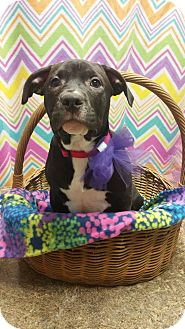 American Staffordshire Terrier Mix Puppy for adoption in Lima, Ohio - Leta *PENDING*
