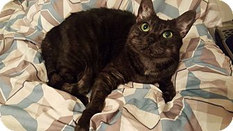 Domestic Shorthair Cat for adoption in Los Angeles, California - Meercat