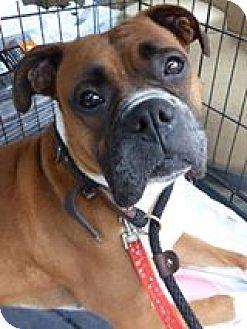 Boxer Dog for adoption in Monterey, Virginia - Rosabelle