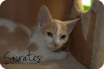Domestic Shorthair Cat for adoption in Middleburg, Florida - Socrates