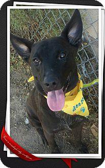 Cattle Dog Mix Puppy for adoption in Apache Junction, Arizona - Stavos