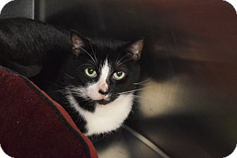 Domestic Shorthair Cat for adoption in Bay Shore, New York - Endora