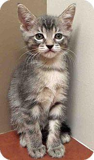 Domestic Shorthair Kitten for adoption in Hinsdale, Illinois - ADOPTED!!!   Apollo