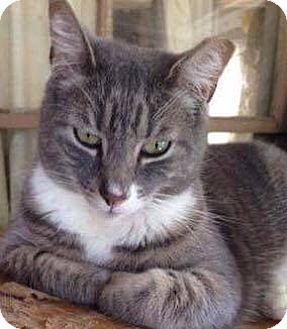Domestic Mediumhair Cat for adoption in West Orange, New Jersey - Jammers