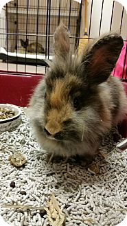 Lionhead Mix for adoption in Chambersburg, Pennsylvania - Harvey