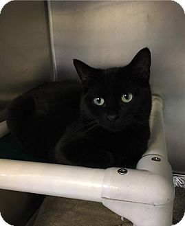 Domestic Shorthair Cat for adoption in Jackson, New Jersey - Elvis