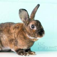 Polish/Mini Rex Mix for adoption in Reisterstown, Maryland - Lance