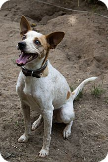 Cattle Dog/Rat Terrier Mix Dog for adoption in Battle Creek, Michigan - Lucky