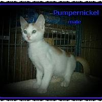 Adopt A Pet :: Pumpernickel - Richmond, CA