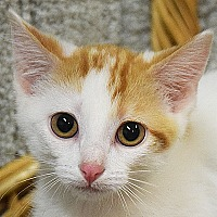 Adopt A Pet :: Swiss Cheese - Huntley, IL