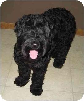 Kerry Blue Terrier Dog for adoption in Columbus, Nebraska - Sophie