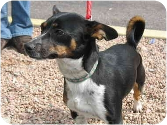 Rat Terrier/Cattle Dog Mix Dog for adoption in Littleton, Colorado - Chica