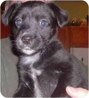 Labrador Retriever Mix Puppy for adoption in Shenandoah, Iowa - Grant