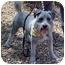 Photo 4 - Schnauzer (Miniature)/Terrier (Unknown Type, Small) Mix Dog for adoption in Spring Valley, California - Oreo