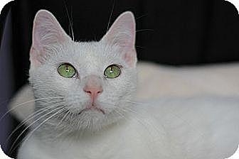 Domestic Shorthair Cat for adoption in Dallas, Texas - GRANT