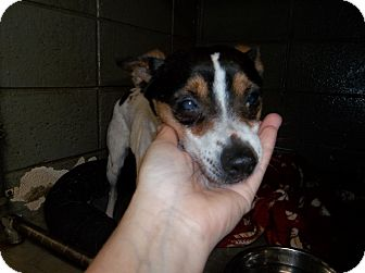 Rat Terrier Mix Dog for adoption in Henderson, North Carolina - Tinker-Bell