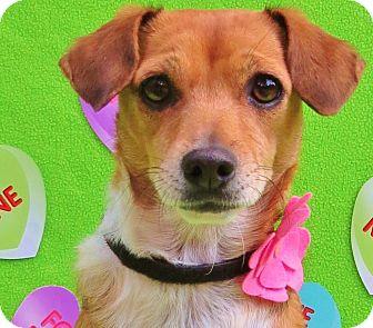 Beagle/Italian Greyhound Mix Dog for adoption in Irvine, California - Danni