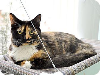 Domestic Mediumhair Cat for adoption in Bradenton, Florida - Lightning