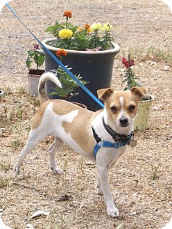 Jack Russell Terrier Mix Dog for adoption in Sonoma, California - Jack
