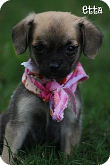 Chihuahua/Pug Mix Puppy for adoption in Glastonbury, Connecticut - Etta