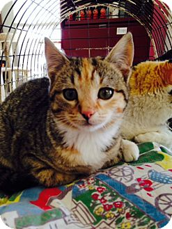 Domestic Shorthair Kitten for adoption in Knoxville, Tennessee - Emma