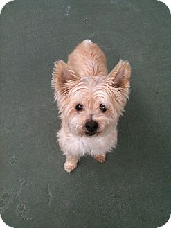 Cairn Terrier/Yorkie, Yorkshire Terrier Mix Dog for adoption in burbank, California - Peppy