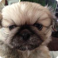 Adopt A Pet :: Chang - Hilliard, OH