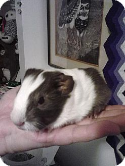 Guinea Pig for adoption in Ogden, Utah - Papuanew (Pap-wa-new)