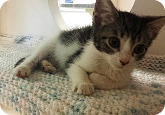 Domestic Shorthair Kitten for adoption in East Meadow, New York - Cici