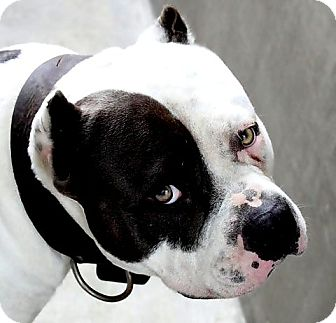 Pit Bull Terrier Dog for adoption in west hollywood, California - Chance