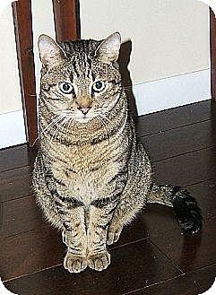 Domestic Shorthair Cat for adoption in Lenhartsville, Pennsylvania - Pixel