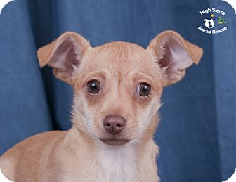 Chihuahua/Pug Mix Puppy for adoption in Portola, California - Shirley