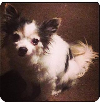 Chihuahua Dog for adoption in Coatesville, Pennsylvania - Boots