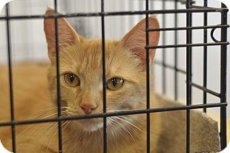 Domestic Shorthair Cat for adoption in Philadelphia, Pennsylvania - Christina