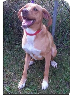 Hound (Unknown Type)/Labrador Retriever Mix Dog for adoption in Port Hope, Ontario - Star