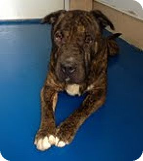 Shar Pei Dog for adoption in Newburgh, Indiana - thor