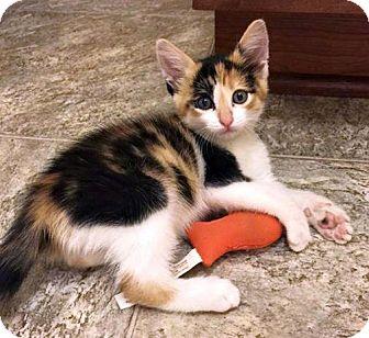 Calico Kitten for adoption in Fort Leavenworth, Kansas - Puddin Pop