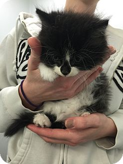 Domestic Longhair Kitten for adoption in THORNHILL, Ontario - DARYL