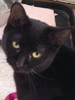 Domestic Shorthair Cat for adoption in Port Clinton, Ohio - Nagoya