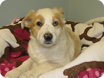 Australian Shepherd Mix Puppy for adoption in Groton, Massachusetts - Danika