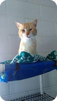 Domestic Mediumhair Cat for adoption in Glenpool, Oklahoma - Prince